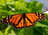 Гигантскую бабочку из Книги Гиннесса покажут в Молодечно