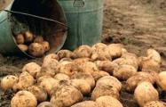 Под Витебском комбайн собрал вместе с картошкой 250 снарядов и гранат