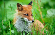 Видеофакт: На Брестчине лиса пришла к дому и настойчиво пыталась попасть внутрь