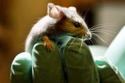 Ученые усомнились в пользе исследований на мышах