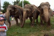 По Витебску разгуливали слоны