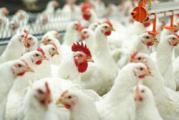 Птицефабрики в Брестской области - на грани банкротства