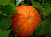 Жительница Рогачева вырастила тыкву весом 89 килограмм