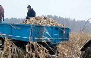 Собирать кукурузу из-под снега приказал глава Вилейского исполкома