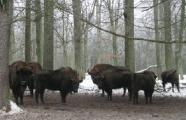 """Экологи рассчитывают на продление диплома Совета Европы для """"Беловежской пущи"""" в 2012 году"""
