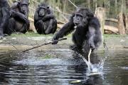 У шимпанзе обнаружили объект поклонения