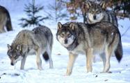 Минчанин держал настоящих волков на частном подворье