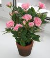 Самым популярным цветком в День влюбленных остается роза