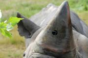 Камеры в рогах носорогов спасут животных от браконьеров