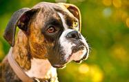 В Гомеле собака породы боксер напала на детей