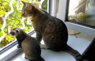 На двух улицах Гродно объявили карантин из-за бешеных хорька и кошки