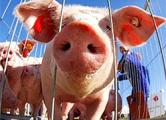 Запрет на содержание свиней возле комплексов будет действовать 3 года