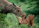В Минске будут продавать живых лосей и оленей для отстрела