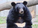 Азиатский черный медведь напал на японских туристов