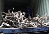 Белорус пытался провезти в Россию 250 килограммов лосиных рогов