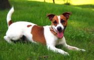 В Беларуси введут обязательное чипирование собак опасных пород