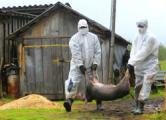 Эпидемия африканской чумы свиней под Барановичами