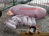 Чешская компания построит свинокомплекс в Борисовском районе в 2013 году