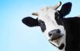 Чем закончится попытка подоить пустых коров?