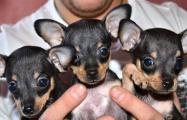Налоговая оштрафовала минчанку на 2 миллиона за продажу щенка