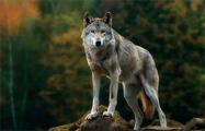 Под Пинском бешеный волк вышел к людям
