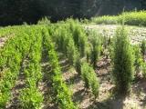 Лесхозы Беларуси обеспечили себя пятилетним запасом семян деревьев хвойных пород
