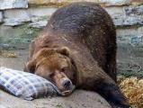 Медведь-синоптик из Могилева предсказал долгую зиму