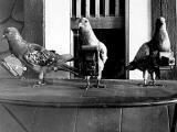 """Британские спецлужбы пытались превратить голубей в """"беспилотники"""""""