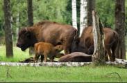 Белорусские зубры начинают вырождаться