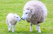 О белорусской модели управления через призму овцеводства