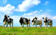 В колхозе в Светлогорском районе умерли 1200 коров