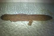 В Китае обнаружили исполинскую саламандру
