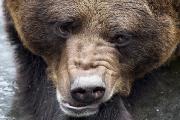Медведь-сладкоежка съел 24 пирога из пекарни в Колорадо
