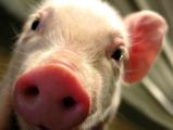 Россельхознадзор: В Беларуси африканская чума свиней
