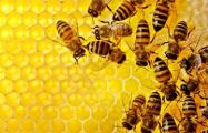 Под Гродно построят гигантский пчелиный улей