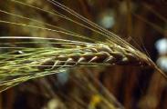 Поставку пивоваренного ячменя нового урожая в счет госзаказа начали в Беларуси