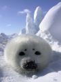 В Таможенном союзе будет частично разрешен ввоз продукции промысла гренландского тюленя для коренных народов Севера