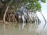Фиджи призвали защитить мангровые заросли
