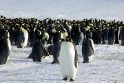 Помет заставил ученых пересмотреть взгляд на пингвинов