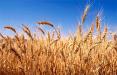 Из Беларуси запретили вывоз пшеницы, гречихи, кукурузы и других злаков