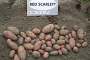 Прокурор уличил районную газету в скрытой рекламе картофеля
