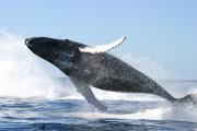 Ученые обнаружили эластичные нервы у самых больших в мире китов
