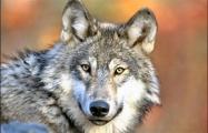 В Столбцах на остановке волк напал на мужчину
