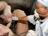 Россияне клянутся, что свиной чумы у них нет