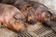 Распространение африканской чумы свиней в России угрожает безопасности Беларуси, Украины и ЕС