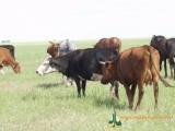 Государственную информсистему по племенному животноводству планируется создать в Беларуси
