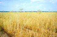 «Зерна не будет ни на госзаказ, ни на продажу»