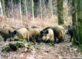 Чума свиней добралась до Минской области?