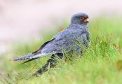 Участники чемпионата по спортивной орнитологии насчитали в Беларуси 177 видов птиц