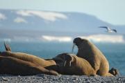 Моржей Баренцева моря оснастили спутниковыми маячками